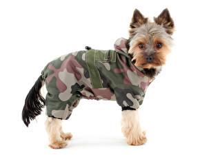 Фото Собаки Йоркширский терьер Униформа