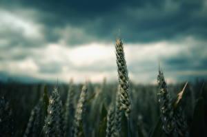 Фото Вблизи Поля Колосья Природа