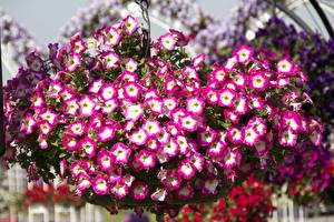Фото Петуния Много Цветы