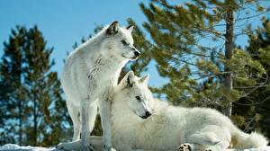 Обои Волк Два Белый Животные
