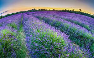 Картинки Лаванда Англия Поля Mayfield Lavender Farm South London цветок