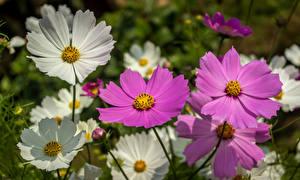 Картинки Космея Крупным планом Цветы