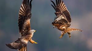Фотография Орлы Птица Крылья Две Животные