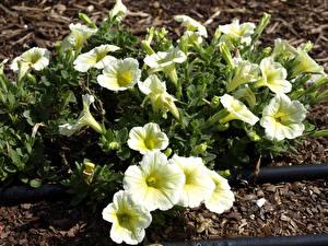Фотография Петунья Много Белая цветок