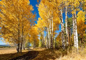 Обои Осень Парки Березы Деревья Природа фото