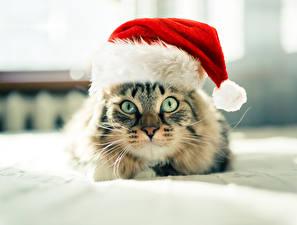 Картинки Кошки Новый год Глаза Шапка Взгляд животное