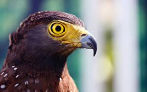 Фотография Птица Орел Клюв Головы Животные