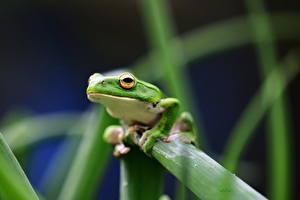 Фото Лягушки Трава Взгляд