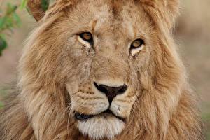 Обои Львы Взгляд Морда Животные фото