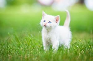Фотография Кошки Котята Белый Трава Животные