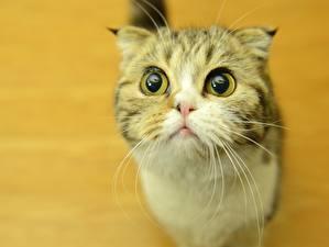 Фотографии Кошки Глаза Усы Вибриссы Смотрят животное