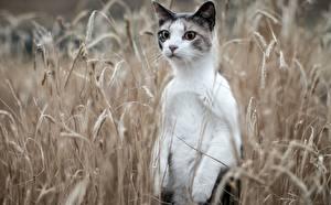 Картинка Кошка Поля Колос животное
