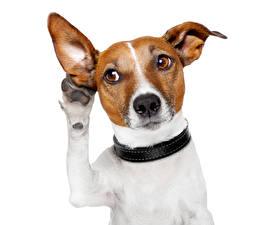 Картинки Собаки Джек-рассел-терьер Лап Смотрят Смешные Животные