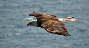 Фото Птицы Ястреб Белоголовый орлан
