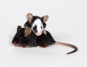 Фото Грызуны Мыши Двое Хвост Животные