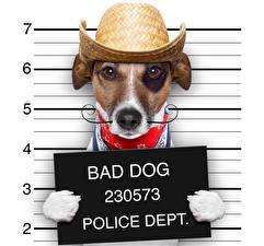 Фото Собаки Джек-рассел-терьер Шляпы Смешные Животные Юмор