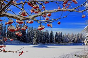Картинка Зимние Ягоды Леса Рябина Ветвь Снег Природа