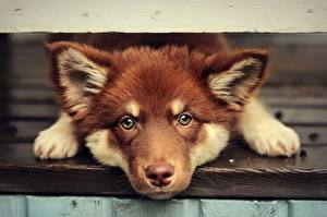 Обои Собака Щенок Взгляд Морды Лапы Finnish Lapphund животное