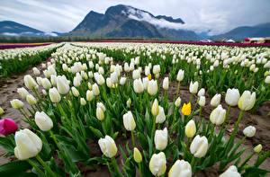 Фотографии Поля Тюльпан Много Горы Белая Цветы Природа