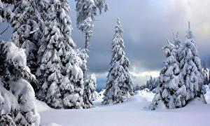 Картинка Германия Зимние Парки Ель Снеге Harz National Park Природа