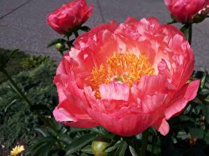 Обои Пионы Крупным планом Розовый Цветы