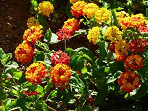 Картинка Вербена Крупным планом цветок