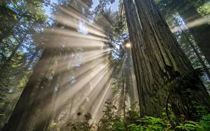 Обои Леса Деревья Лучи света Ствол дерева Вид снизу Природа фото