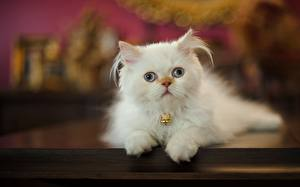 Обои Кошка Котят Белых Смотрит Животные
