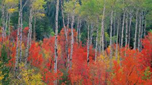 Обои Леса Осень Березы Деревья Природа фото