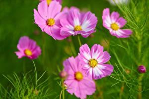 Фото Космея Крупным планом Цветы