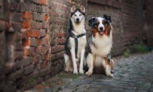 Картинка Собаки Австралийская овчарка Хаски Двое