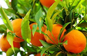 Обои Апельсин Фрукты Листва Продукты питания