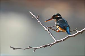 Обои Обыкновенный зимородок Птицы Ветвь