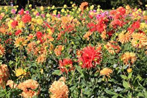 Фотографии Астры Много Цветы
