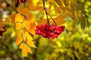 Картинка Ягоды Осень Рябина Листья
