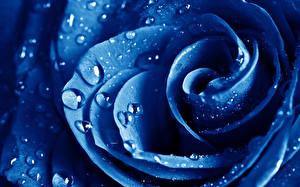 Фотографии Розы Крупным планом Синий Капли Цветы