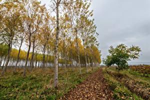 Обои Осень Деревья Березы Природа фото