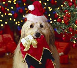 Фотография Собаки Новый годик Йоркширский терьер Шапки Взгляд Гаванский бишон Животные