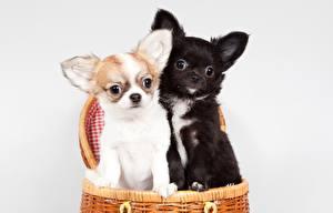 Фото Собака Чихуахуа Щенки Две Животные