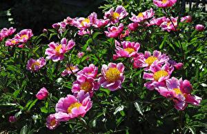 Обои Пионы Розовый Цветы