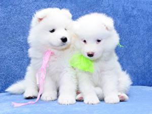 Фотография Собаки Двое Белых Щенок Самоедская собака животное