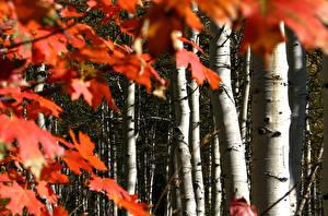 Обои США Осень Листья Деревья Березы Клён Ствол дерева Colorado Природа фото