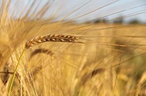 Обои Крупным планом Пшеница Колос Природа