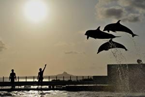 Фотография Дельфины Прыжок Силуэт Брызги Животные