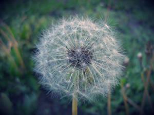 Картинки Одуванчики Крупным планом цветок