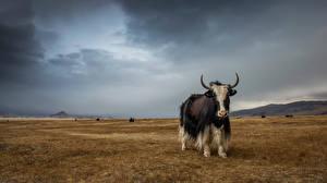 Обои Быки Луга Yak Altai