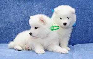Фотография Собаки Щенки Две Самоедская собака животное