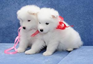 Фотография Собака Щенок Белый Вдвоем Самоедская собака животное