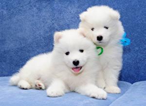 Картинки Собаки Две Щенок Белых Самоедская собака Животные