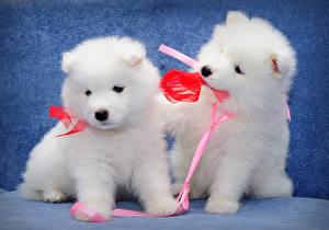 Обои Собаки Двое Щенок Белый Бантики Самоедская собака Животные